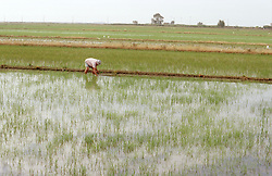 Man planting rice in paddy field in the Ebro Delta Spain,