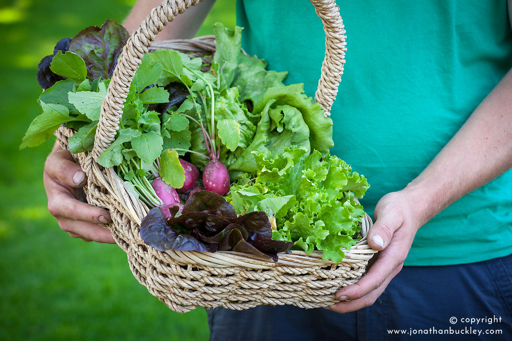 Harvesting salad leaves into a basket. Lettuce and radish
