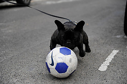 Brighton, UK. 29/04/2011. The Royal Wedding of HRH Prince William to Kate Middleton. Footballing dog at a street party in Brighton. Photo credit should read: Peter Webb/LNP. Please see special instructions for licensing information. © under license to London News Pictures