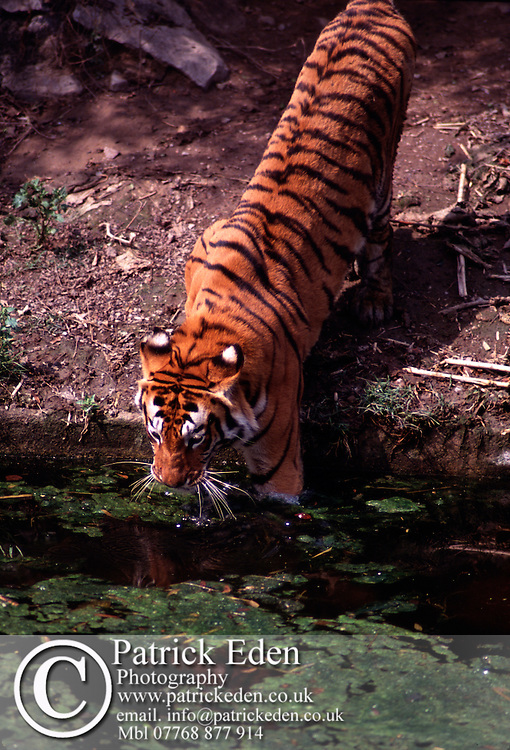 Bengal Tiger India © Patrick Eden