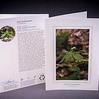 Often mistaken for the Indian Cucumber Root, the Small Whorled Pogonia is a rare species in NH, and one of the few species that is listed as protected under the Native Plant Protection Act. <br />
