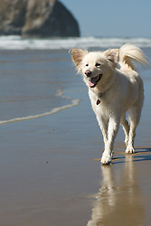 A happy dog with big ears takes a stroll along the beach on the Oregon Coast on a late summer afternoon.
