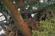 A juvenile bald eagle (Haliaeetus leucocephalus) tests its wings from the nest while another eaglet looks on. The eaglets are five to six weeks old in this image and will not fly for another three weeks.
