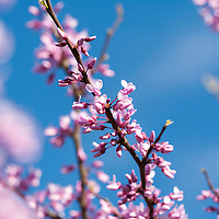 The delicate pale pink flowers of a Redbud tree in flower against a blue Spring sky.