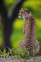 A cheetah  (Acinonyx jubatus) from behind sitting and looking to the side,  Ndutu, Ngorongoro Conservation Area, Tanzania, Africa