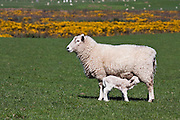 Nursing Lamb, Catlins, New Zealand