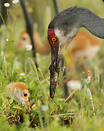 Sandhill crane chick looks on as adult lifts worm out of soil, © 2014 David A. Ponton