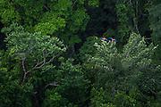 Scarlet Macaw (Ara macao)<br /> Rainforest<br /> Rupununi<br /> GUYANA<br /> South America