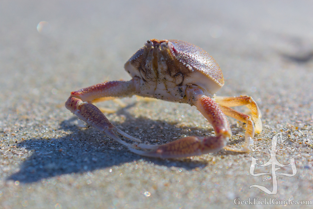 Coin-sized crab from a North Carolina beach