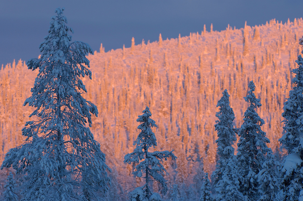 Virgin boreal forest, Muddus National Park, Laponia World Heritage Area, Lapland, Sweden.