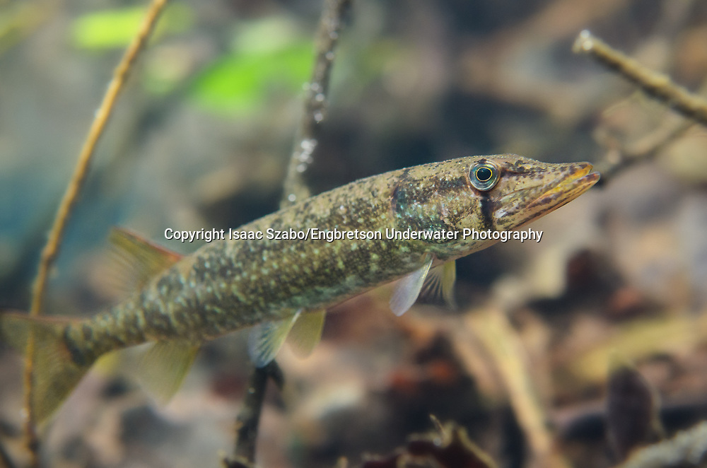 Redfin Pickerel<br /> <br /> Isaac Szabo/Engbretson Underwater Photography
