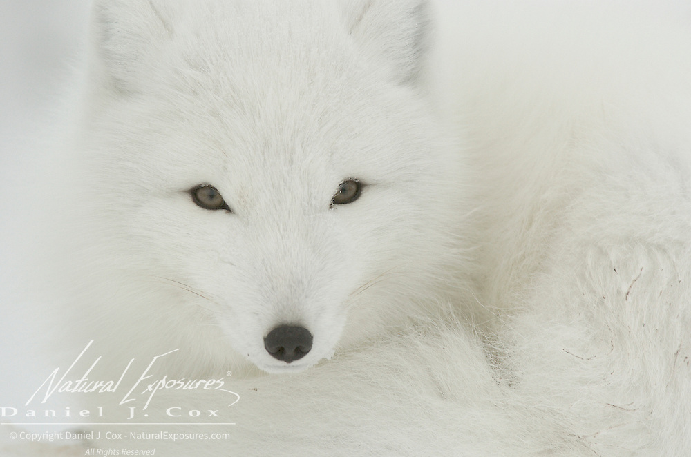 Arctic Fox (Vulpes lagopus) along the ice edge of Hudson Bay, Cape Churchill, near Churchill, Manitoba, Canada.