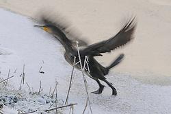 Waverhoek, Waverveen, De Ronde Venen, Utrecht, Netherlands Aalscholver, cormorant, Phalacrocorax carbo