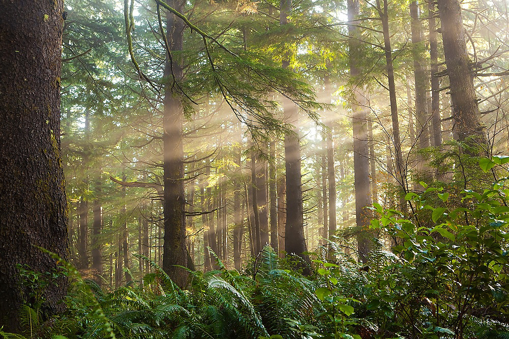 Sun rays filter through the trees along the trail to Third Beach, Olympic National Forest, Washington.