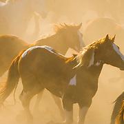 2011 paint horse calendar, november, wild fire, flying u rodeo, marysville, california