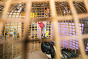 27 AUGUST 2013 - BANGKOK, THAILAND:       A fighting cock in its basket at a construction site in Bangkok. The birds live on the site with their owners, who are workers at the site. The men frequently have impromptu practice matches to test the birds' mettle. Their spurs are wrapped and beaks muzzled so they're not seriously injured. Cockfighting is legal in Thailand but is not seen very often in Bangkok. It's very popular in the provinces and rural areas, especially north of Bangkok.   PHOTO BY JACK KURTZ