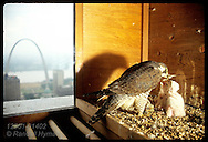 Mother peregrine falcon (Falco peregrinus) feeds dead bird to chicks, Missouri's first wild-hatched in 100 years, atop ATT building; Saint Louis, Missouri