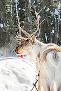 One of Kenji Yoshikawa's reindeers. Fairbanks, Alaska