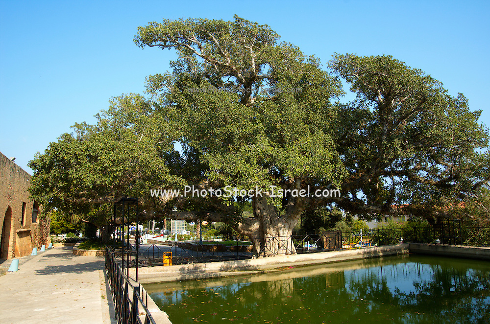 Cyprus, Agia Napa ancient Sycamore fig - Ficus sycomorus tree. Agia Napa a small vacation town on the Mediterranean Sea on the southern shores of the island