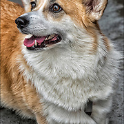 Pembroke Welsh Corgi  outdoors for a walk either on a leash waiting for it's owner to return on the street in Greenwich Village.<br /> <br /> Pembroke Welsh Corgi  &quot;dwarf dog&quot; is a cattle herding dog breed which originated in Pembrokeshire, Wales.  It is one of two breeds known as a Welsh Corgi. The other is the Cardigan Welsh Corgi, and both descend from the line that is the northern spitz-type dog. Another theory is that Pembrokes are descended from the Swedish Vallhunds, which were crossed with the local Welsh herding dogs.  The Pembroke Welsh Corgi is the younger of the two Corgi breeds and is a separate and distinct breed from the Cardigan. The corgi is one of the smallest dogs in the Herding Group. Pembroke Welsh Corgis are famed for being the preferred breed of Queen Elizabebth II.<br /> <br /> Corgis are very affectionate, love to be involved in the family, and tend to follow wherever their owners go. They have a great desire to please their owners, thus making them eager to learn and train.