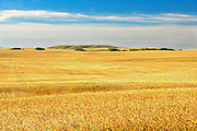 Wheat field<br /> WEBB<br /> Saskatchewan<br /> Canada