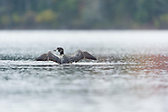 Juvenile Loon Old Forge NY