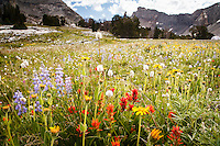 Wildflowers in Hyndman Basin, Pioneer Mountains, Idaho.