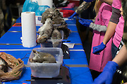 Squirrels are weighed at the annual Hazzard County Squirrel Slam in Brockport, New York on Saturday, February 25, 2017.