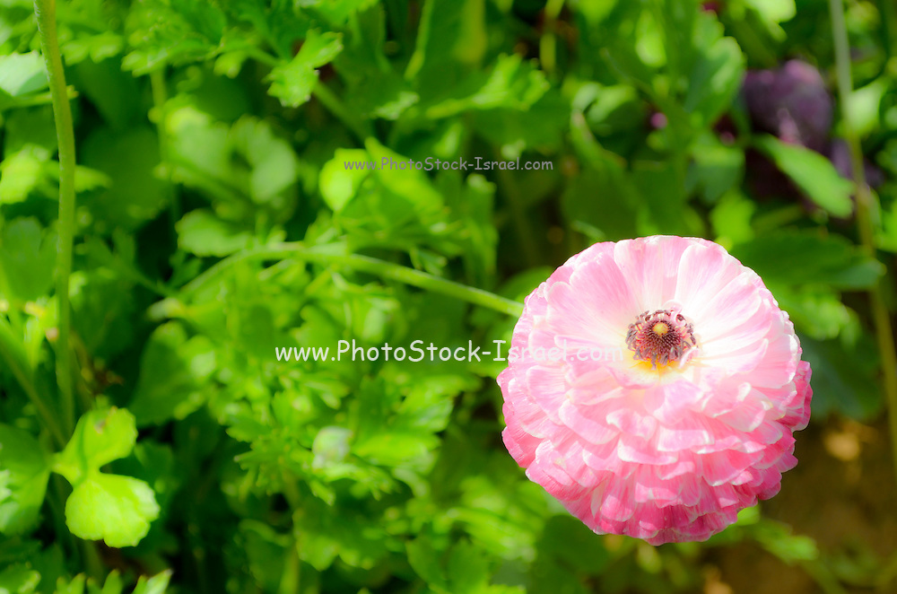 A field of pink cultivated Buttercup (Ranunculus) flowers for export to Europe. Photographed in Israel Northern Negev