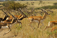 Argentina black buck hunt