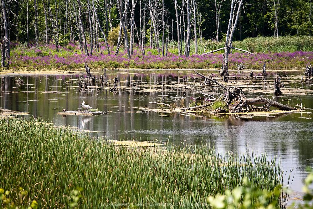 Bird in Wetland (swamp, bog, swale, marsh).
