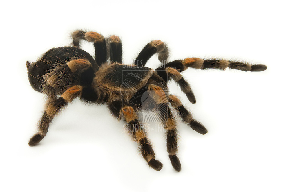 Mexican Redknee Tarantula on a white background