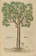16th century, watercolor, hand painted woodcutting print of an Oak Tree (Quercus) from Leonhart Fuchs book of herbs: De Historia Stirpium Commentarii Insignes Published in Basel in 1542 The original manuscript this image is taken from shows signs of water damage