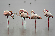 Greater flamingo (Phoenicopterus ruber).  Group of adults standing on shallow waters while it rains.  Fuente de Piedra lagoon, Málaga province, Andalucia, Spain.