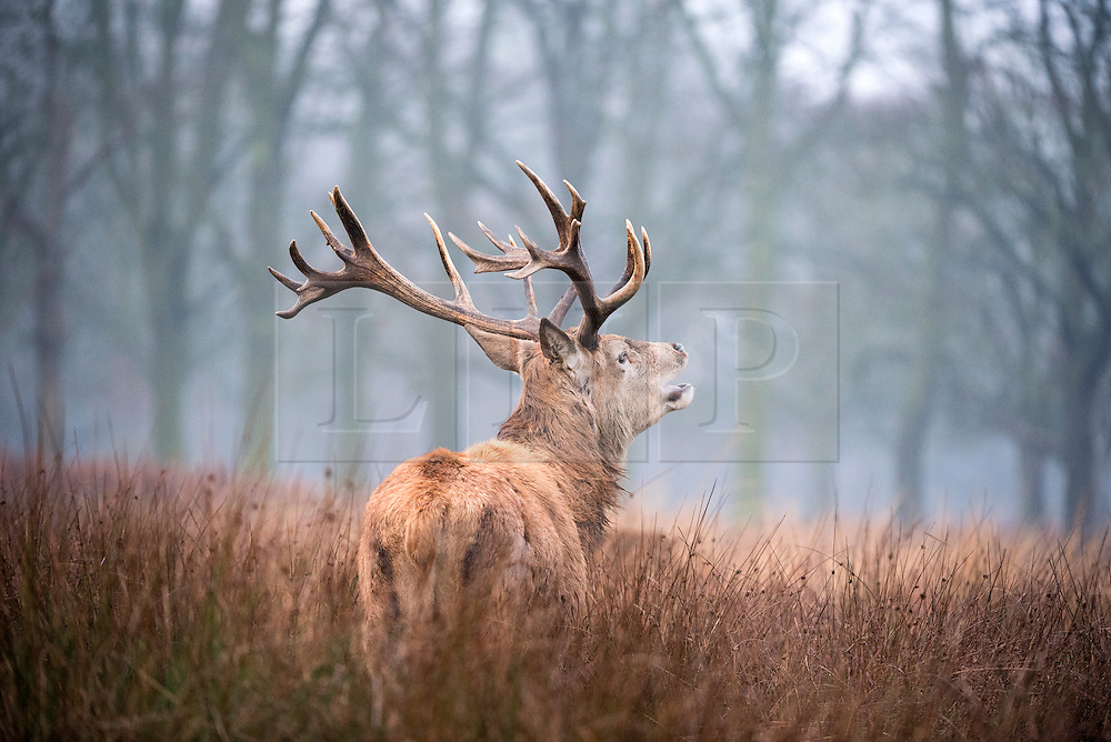 © Licensed to London News Pictures. 06/01/2016. Richmond, UK.  A stag calls out across the foggy fields. Deer wake up to a foggy morning in Richmond Park today 6th January 2016. Photo credit : Stephen Simpson/LNP