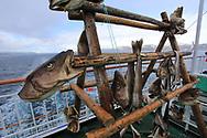 Cod heads and fish dry on wooden rack aboard Hurtigruten coastal cruise ship sailing along northwest coast of Norway.