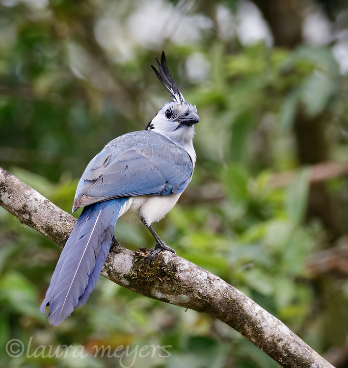 White-throated Magpie-jay on branch photographed in Costa Rica.