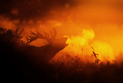 © Licensed to London News Pictures. 06/10/2017. London, UK. A stag bellows in first light in Bushy Park. A high of 15 centigrade is expected in parts of the south today. Photo credit: Peter Macdiarmid/LNP