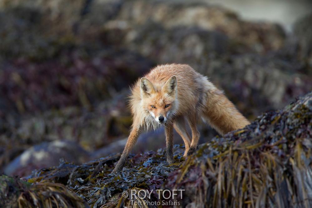 Portrait of an adult red fox, Katmai National Park, Alaska