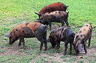 Pigs in Corral Nuevo, Matanzas, Cuba.