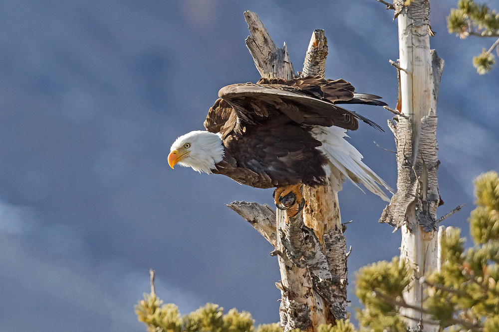 The body of the bald eagle is covered with over 7000 feathers. These feathers enable eagles to live year round in extremely cold environments, like those encountered in the Greater Yellowstone Ecosystem. Eagles do sometimes migrate to warmer climes in winter, but only if there is no available food source in their summer habitat.
