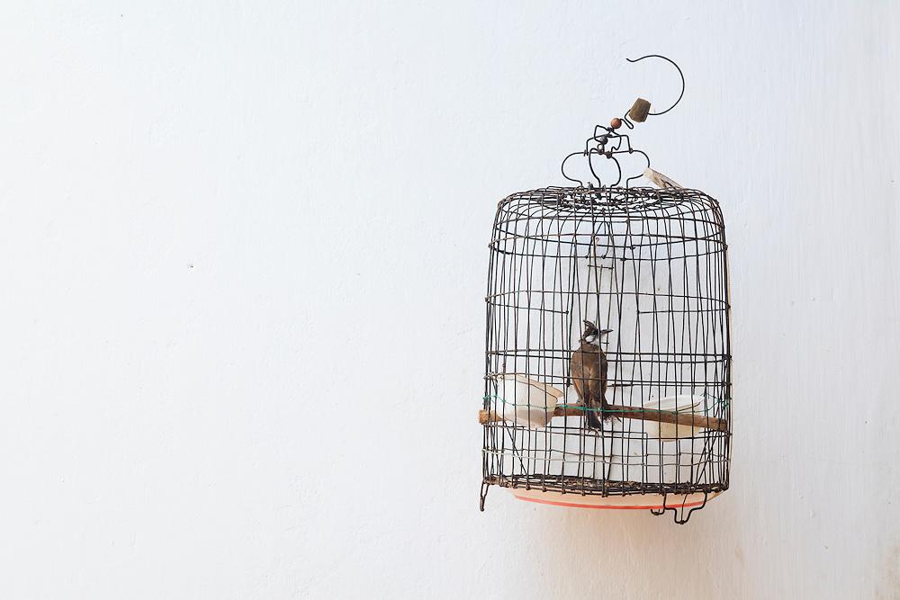 Red-whiskered Bulbul (Pycnonotus jocosus) in birdcage. Hoi An. Vietnam.