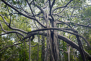 "THIMMAMMA MARRIMANU, INDIA - 2nd November 2019 - Thimmamma Marrimanu is the world's largest single tree canopy. With more than 4000 roots, the banyan tree (Ficus benghalensis) was first added to the Guinness Book of World Records in 1989 (its entry updated in 2017) as being 550 years old and having the ""greatest perimeter length for a tree"", spreading over five acres with a circumference of 846m. Andhra Pradesh, South India."