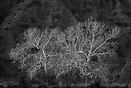 Arizona sycamores in winter along Whitewater Creek, Gila National Forest, New Mexico, © 1983 David A. Ponton