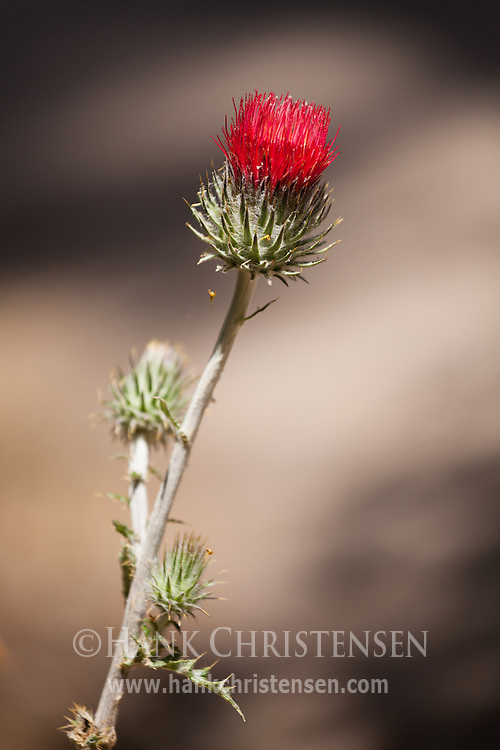 A red thistle grows along side a trail in Pinnacles National Park