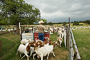 Todd Meadows raises Boer Spanish cross goats along with cattle on the Meadows Ranch in Paradise, Texas.