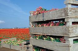 North America, USA, Washington, Skagit Valley. Tulip fields near La Conner