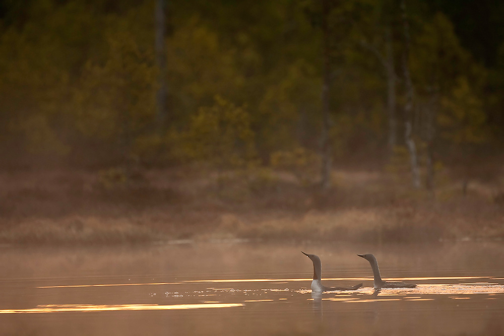 Pair of Red-throated divers (Gavia stellata) at dawn on mist-laden lake, Bergslagen, Sweden.