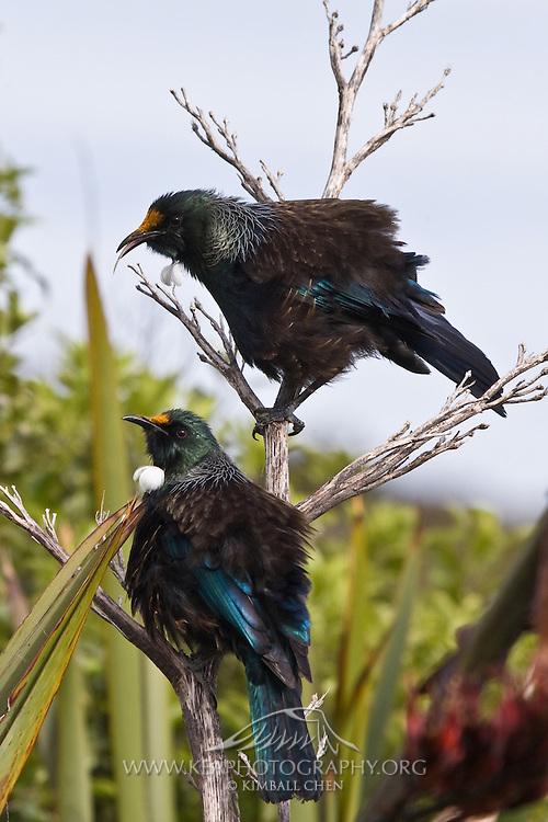 Tui at Riverton, New Zealand