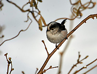 Long-tailed Tit (Aegithalos caudatus), Westerham, England, : Photo by Peter Llewellyn